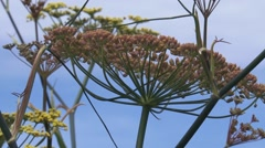Fennel, Foeniculum vulgare, flowers and seed pods against blue sky Stock Footage