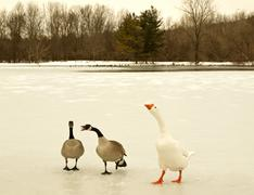 geese and swans - stock photo