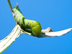 Green Fruitworm Stock Photos