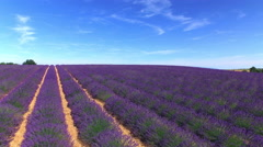 AERIAL: Stunning big field of purple lavender in sunny summer - stock footage