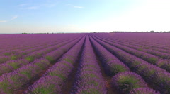 AERIAL: Flying above the beautiful purple lavender rows - stock footage