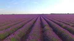 AERIAL CLOSE UP: Beautiful purple lavender field on sunny day - stock footage