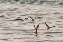 Flying Seagull, Most Famous Among Seabirds Kuvituskuvat