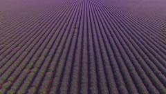 AERIAL: Endless fields of purple lavender rows - stock footage