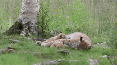 Lynx mother with cubs suckle laying on ground giving milk Stock Footage