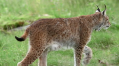 Eurasian Lynx close up view walking in grass field left to right out of frame Stock Footage