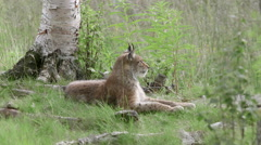 Lynx laying on ground watching alerted Stock Footage