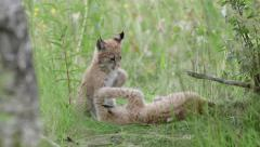 Lynx cubs playing in grass field Stock Footage