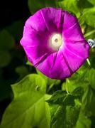 Pink morning glory flower - stock photo