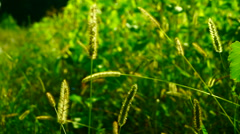 Wild grasses ,fluffy weeds in a meadow, in sun Stock Footage