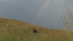 A lion sitting under the rainbow Stock Footage