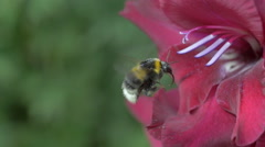 Garden Bumble Bee in Crimson Gladioli with Pollen Dust Slow Motion Macro - stock footage