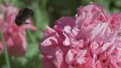 Red-Tailed Bumble Bee in Pink Oriental Poppy Macro Slow Motion Stock Footage