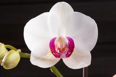 Stock Photo of Closeup white orchid Phalaenopsis cultivars hybrid flower
