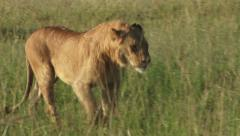 A lion stops to cough in the bush - stock footage