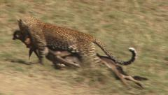 A leopard transporting a kill Stock Footage