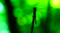 Silhouette of dragonfly resting on a branch Stock Footage