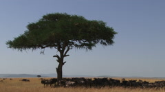 Animals resting under an acacia tree Stock Footage