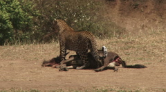 A young leopard transporting a kill Stock Footage