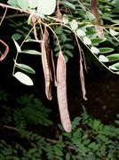 black locust (Robinia pseudoacacia) core - stock photo