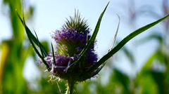 Spiny bracts and pink flower head of Silybum marianum, or Milk Thistle Stock Footage