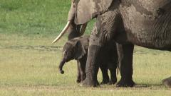 Baby elephant feeding with mother Stock Footage