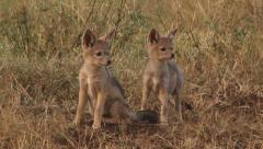 Baby black backed jackals Stock Footage