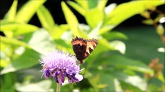 Butterfly and on flower scabiosa Stock Footage