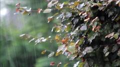 Raining on beech tree, Fagus sylvatica, summer Stock Footage
