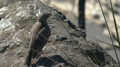 A Wren Perched Upon a Large Rock Stock Footage