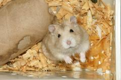 Cute hamster in sawdust wooden house - stock photo