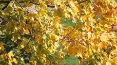 Autumnal maple leaves  Stock Footage