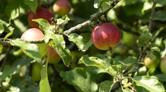 Ripe, red apple on a tree Stock Footage