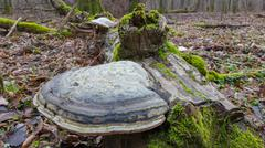 Giant Polypore fungi in fall growing on moss wrapped piece of dead wood - stock photo
