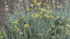 Helichrysum italicum or curry plant blooming Stock Footage