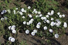 Convolvulus arvensis - stock photo