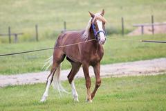 Young chestnut stallion breed Orlov Trotter Stock Photos