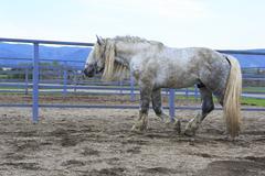 Stock Photo of Beautiful stallion gray suit breed Percheron