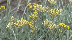 Helichrysum italicum or curry plant blooming - close up Stock Footage