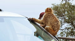 Barbary Ape on Gibraltar rock. Sitting on car. Stock Footage