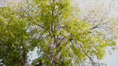 Stock Video Footage of Movement of leaf on twig of big tree