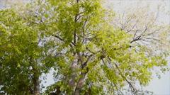 Movement of leaf on twig of big tree Stock Footage
