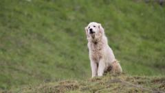 Great Pyrenees herd dogs barking at camera - stock footage