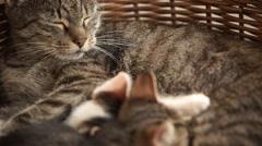 Cats suckling, feeding on milk Stock Footage