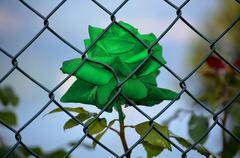 Green Rose imprisoned Stock Photos
