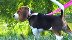 Beagle Puppy 13 - Young dog on a leash watching with curiosity - outdoor summer - stock footage
