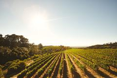 Stock Photo of Grape cultivation for winery