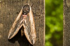 Hawk Moth on wood background close up Stock Photos