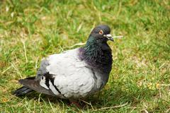 Commen Rock Pigeon - stock photo