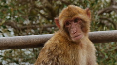 Barbary Ape on Gibraltar rock Stock Footage